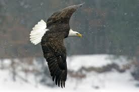 eagle2jpg